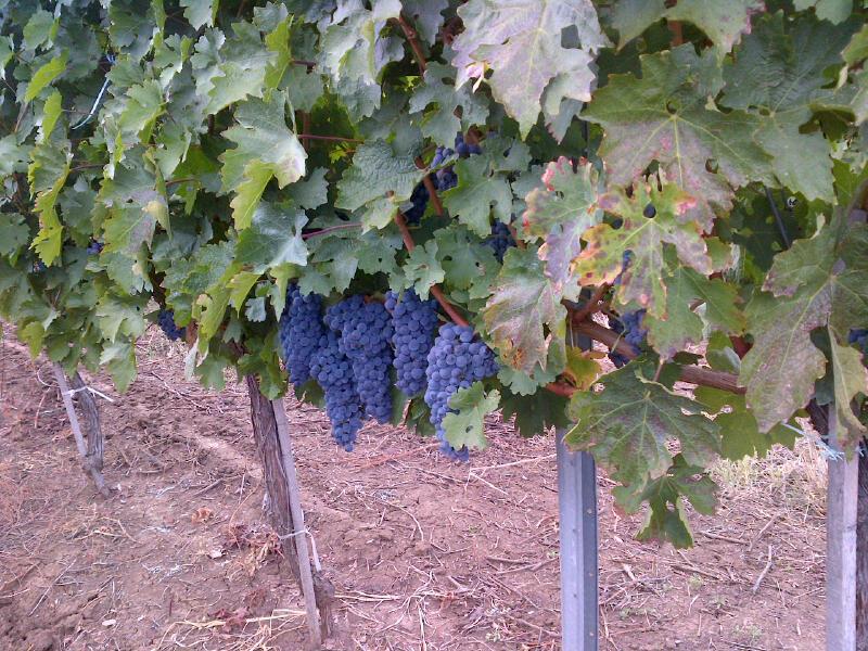 Vand ferma viticola 45 hectare, vand domeniu viticol, vand conac cu ferma viticola.