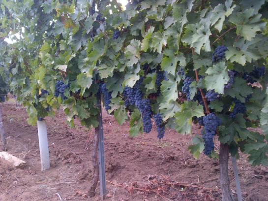vanzari terenuri viticole