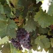 vand ferma viticola,ferma viticola de vanzare, vand ferme viticole,vindem ferme viticole,vand domeniu viticol